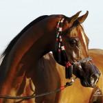 Shy Gayfeen, Straight Egyptian Stallion